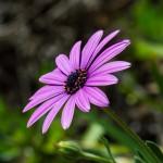 Purple Carpark Flowers